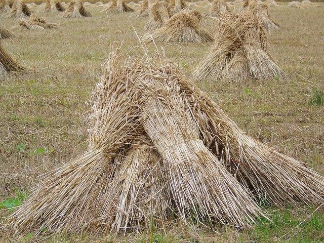 Wheat_sheaves.jpg